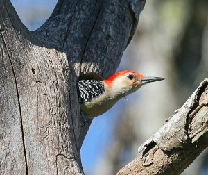 red-bellied-woodpecker-tree