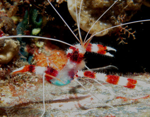 shrimp20banded